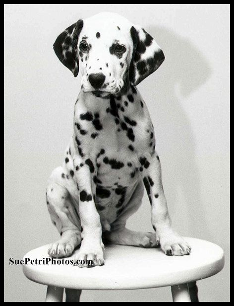 Dalmation Puppy Photographs Animal Photography by SuePetriPhotos, $20.00