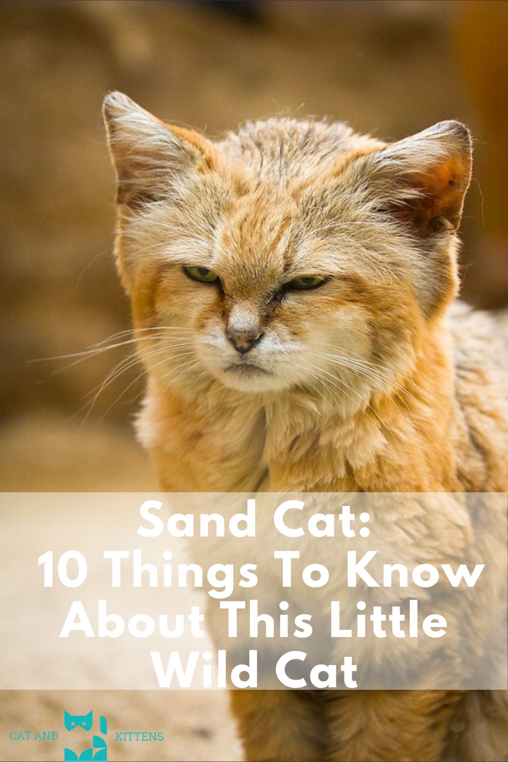 Sand Cat 10 Things To Know About This Little Wild Cat in