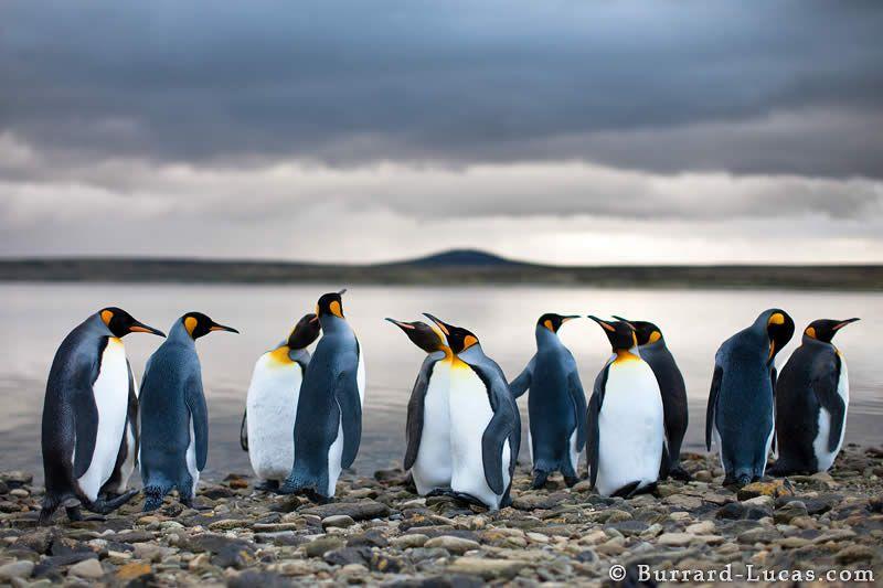 penguins. cute penguins.