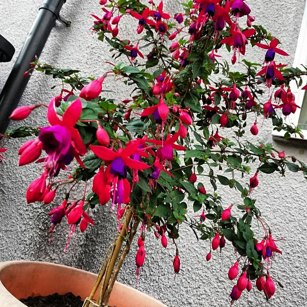 Just Love My Fuchsia Especially The Fact It S Meant To Be Round It Doesn T Want To Be And That S Fine By Me Gardening For Beginners Gardening Tips Fuschia