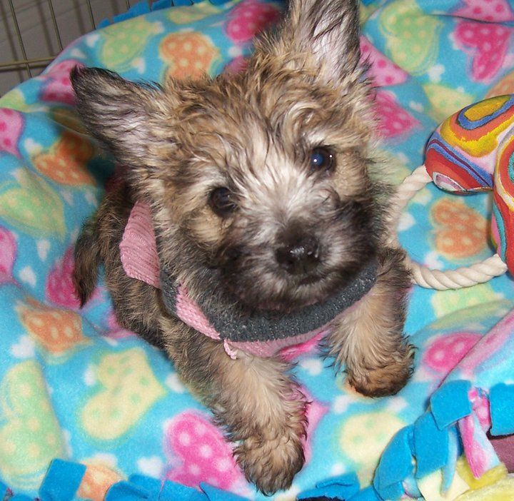 Kinsey At 10 Weeks Old With Images Cairn Terrier Terrier