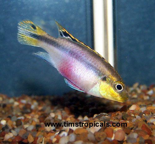 Rainbow Kribensis Cichlid Pelvicachromis Pulcher Aquarium Tropical Fish From Tropical Fish And Aquariums Cichlids Tropical Fish Fish Pet