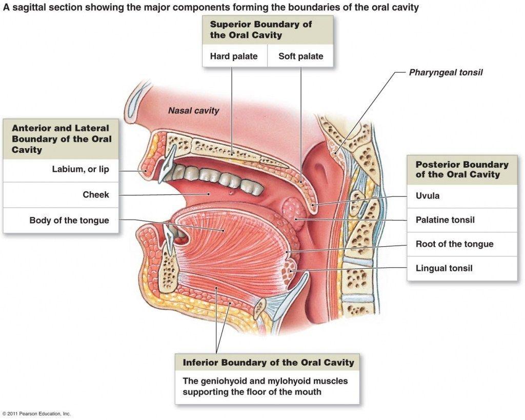 human throat anatomy throat anatomy diagram of human diagram of Human Intestinal Diagram