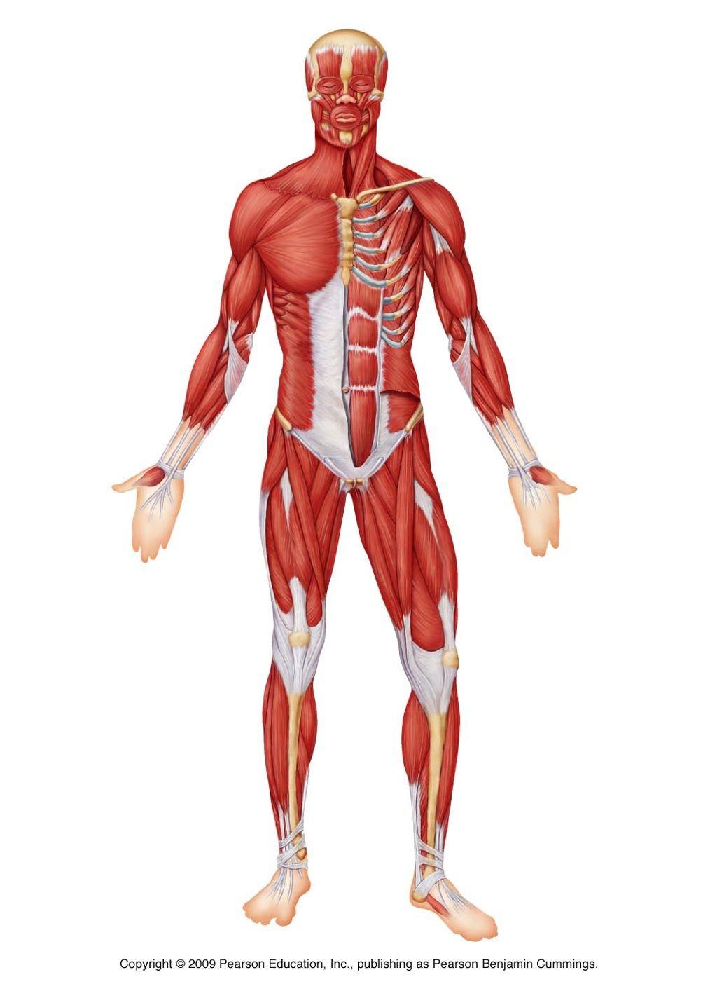 Erfreut Das Wesentliche Der Menschlichen Anatomie Und Physiologie 9 ...