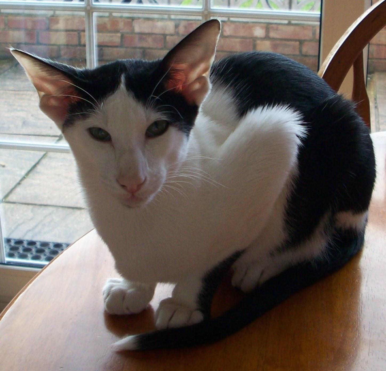 fold siamese sphynx cats turkish van back cat breeds photogallery