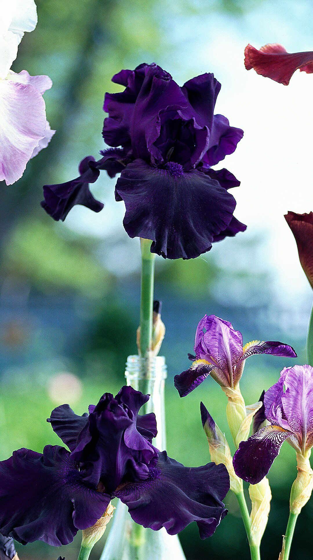 bearded iris perfect pitch