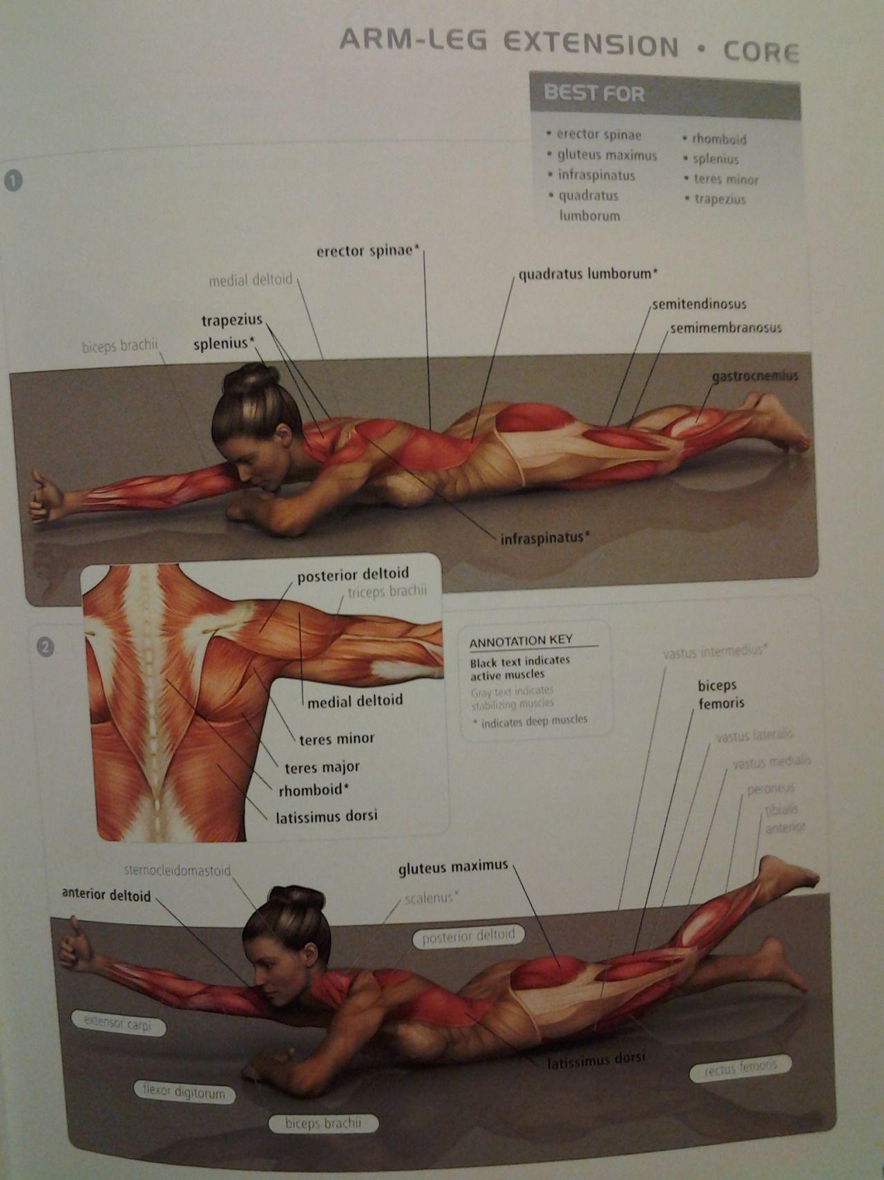 CORE armleg extension back muscles u gluteus maximus  rep