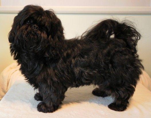 Black Shih Tzu For Stud Black Shih Tzu Shih Tzu Shih Tzu Puppy