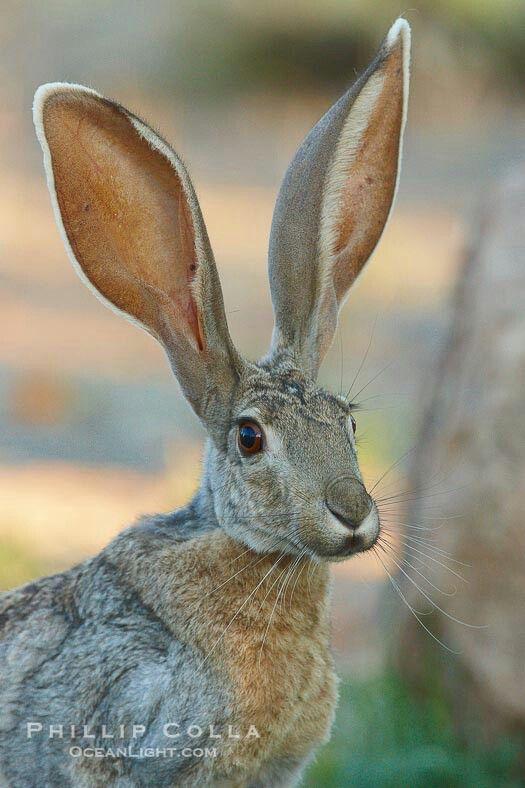 Antelope Jackrabbit. What a marvellous capture!