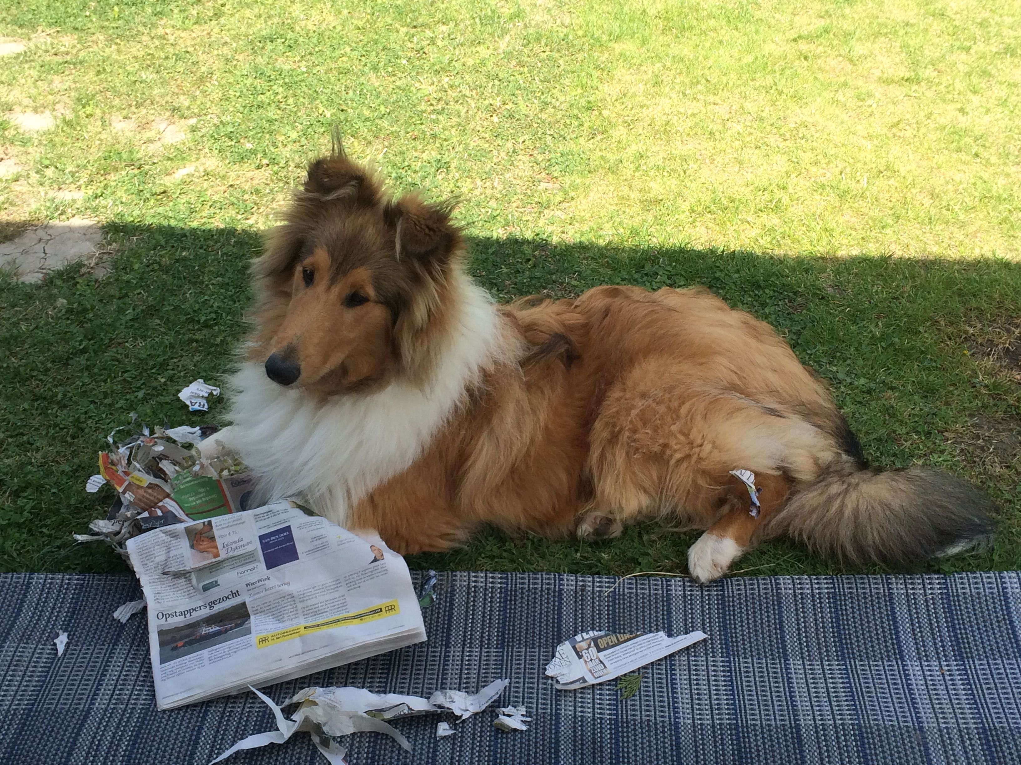 Kenzo Masterpiece Of The Holy Mountain Wcjw 12 Int Ch Wicani Ent Iced X Rough Collie The Perfect Dog Collie