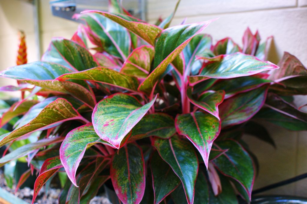 Aglaonema Creta Chinese Evergreen This Plant Enjoyed Filtered Sunlight And Is Toxic To Cats Dogs