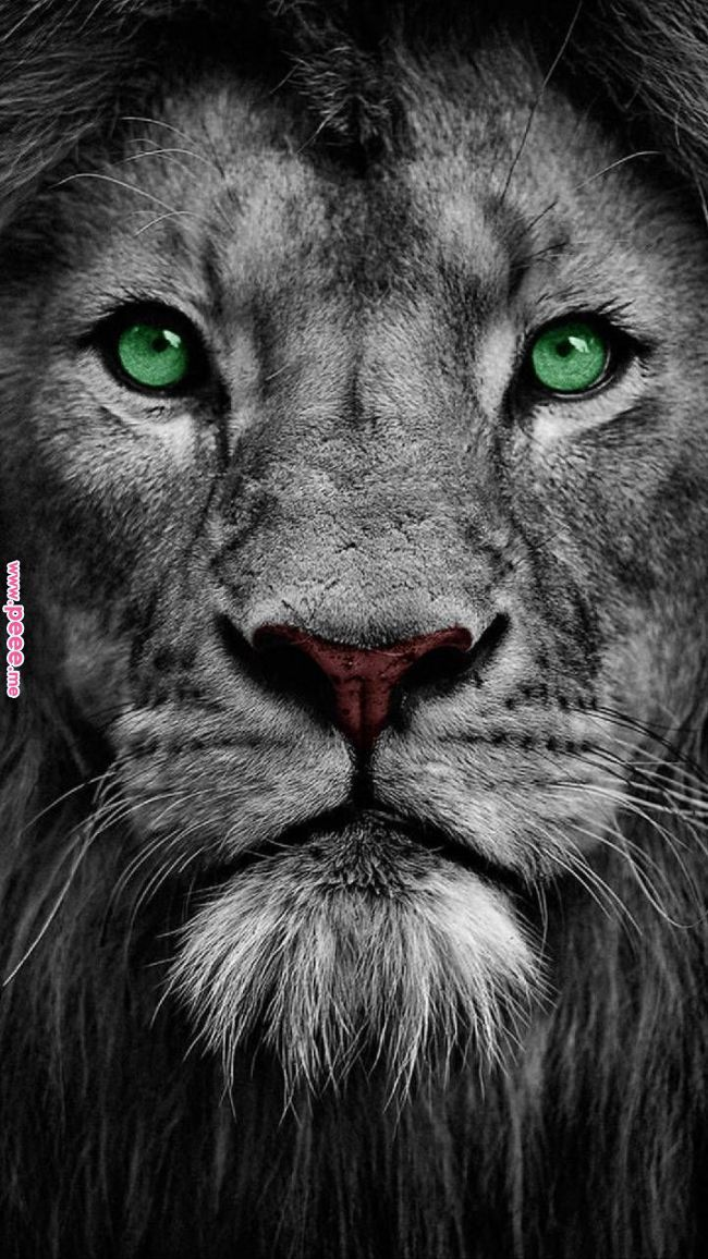 Download The King Wallpaper By Georgekev A0 Free On Zedge Now Browse Millions Of Popular Animal Wallpapers And R Lion Images Lion Wallpaper Lion Pictures