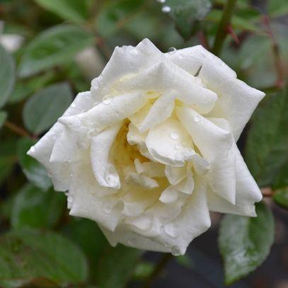 Ducher China Rose Rosa X Chinensis Cv China Rose Fragrant Roses All Plants