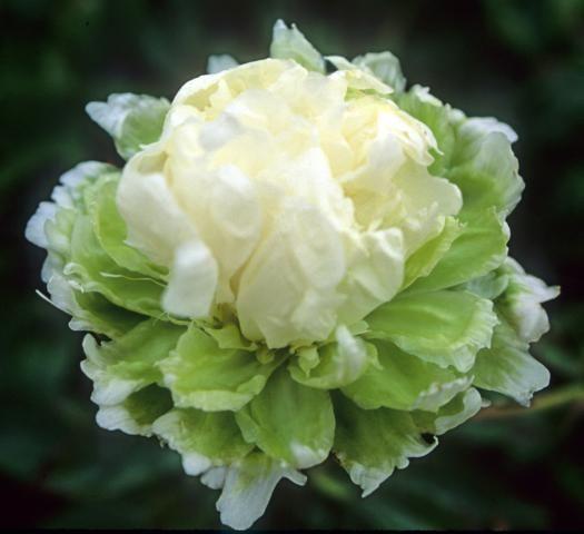 Paeonia Lactiflora Green Halo Binnyplants Com Planting Flowers Peony Farm Peonies Garden