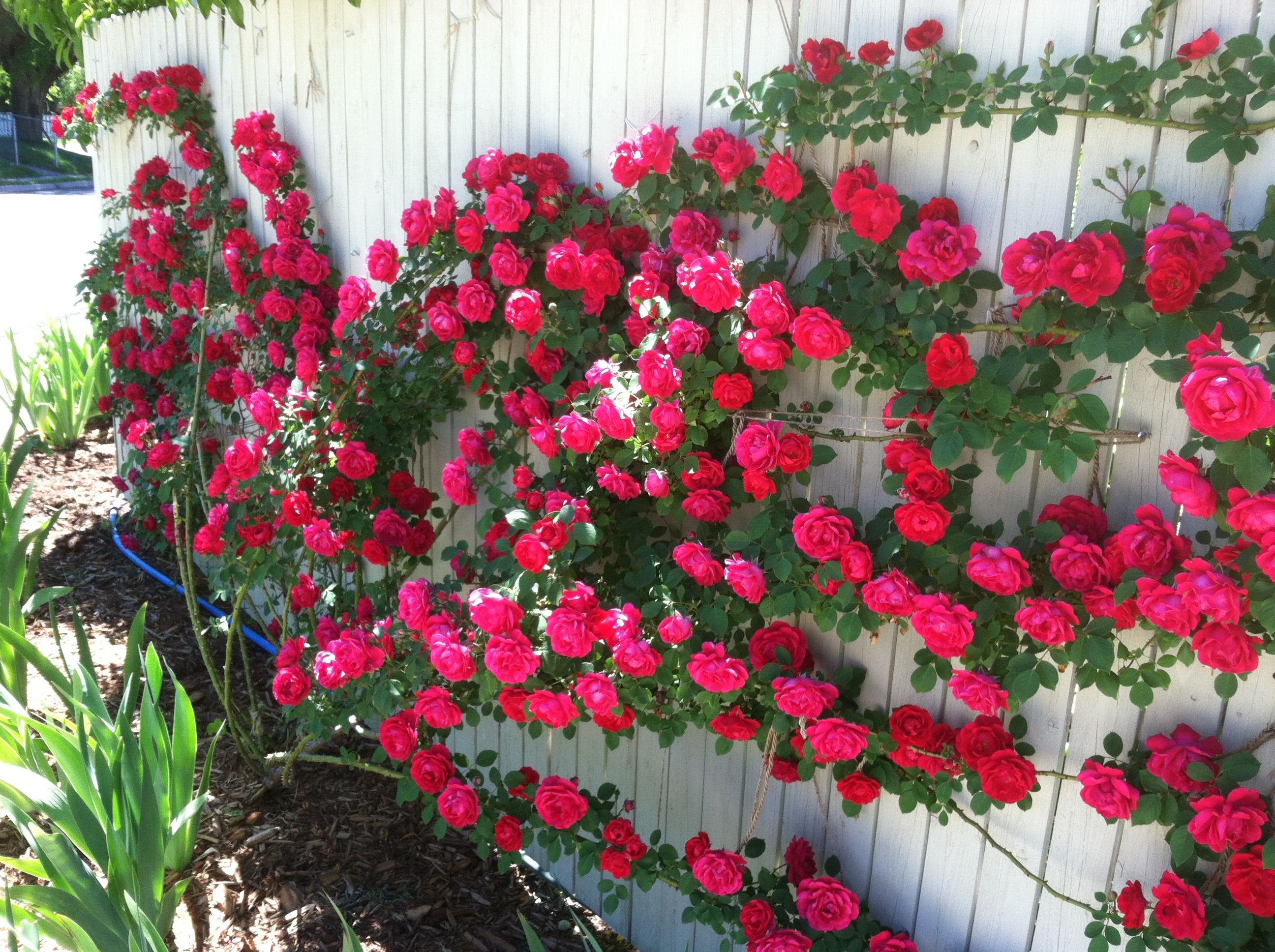 Best climbing roses img 5316 300x224 blaze climbing rose for Climbing flowering plants for fences
