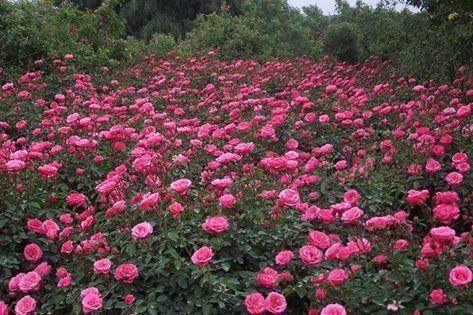 Havradim Gardens Halfway Between Tel Aviv And Jerusalem Flowers Pink Flowers Israel