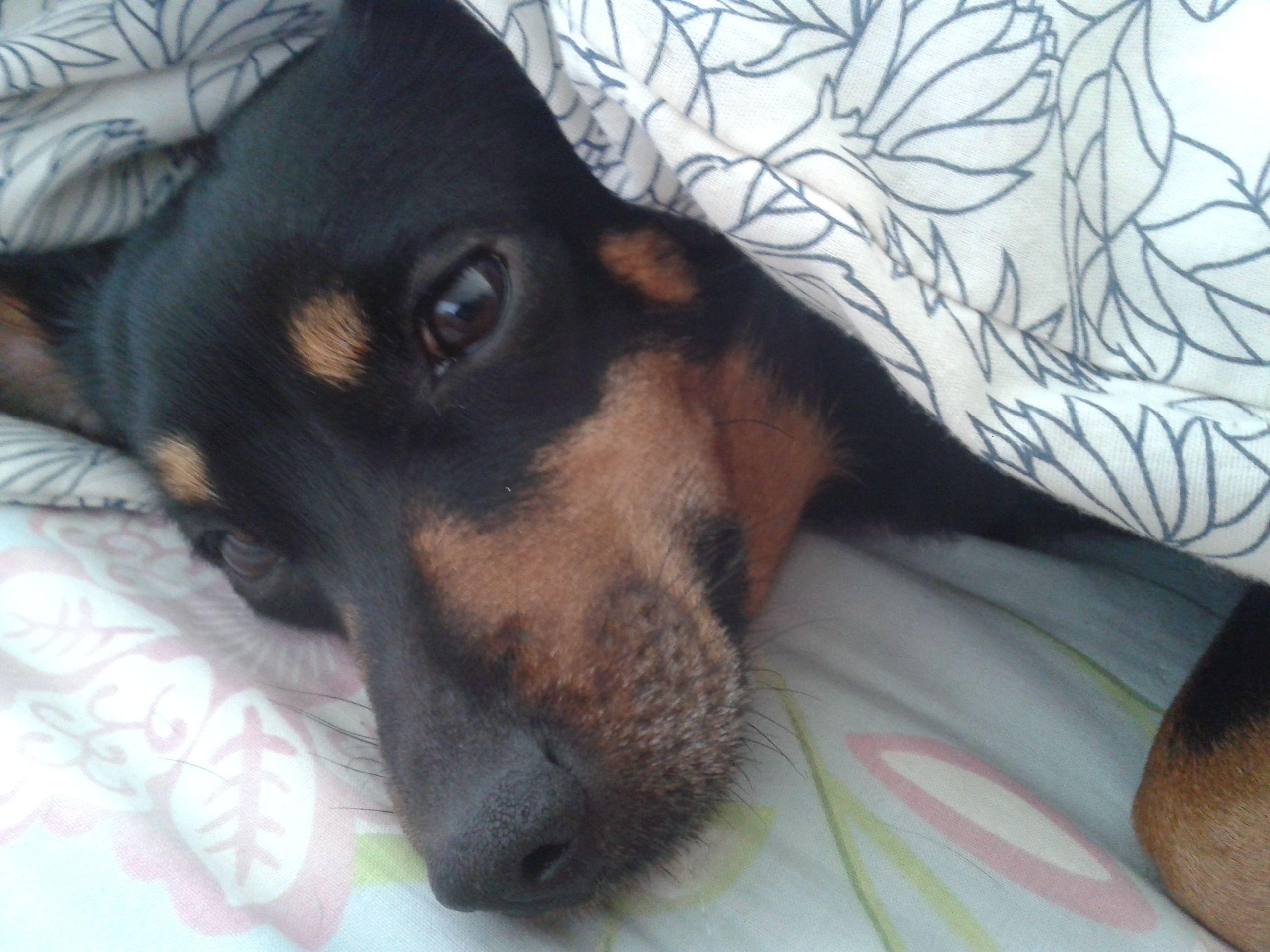 Hamilton Ontario Chihuahua Meet Nori A For Adoption Https Www Adoptapet Com Pet 20011621 Hamilton Ontario