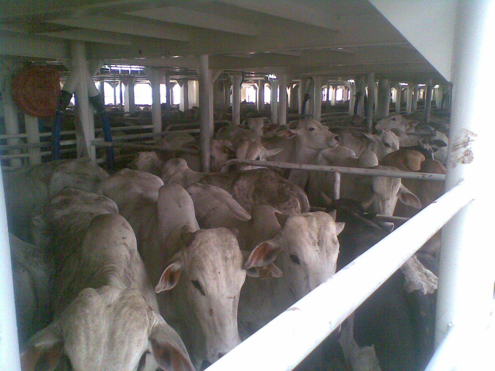 """""""O GRITO DO BICHO"""": Exportação de gado vivo recua 6% em 2014 #ogritodobicho #falabicho"""