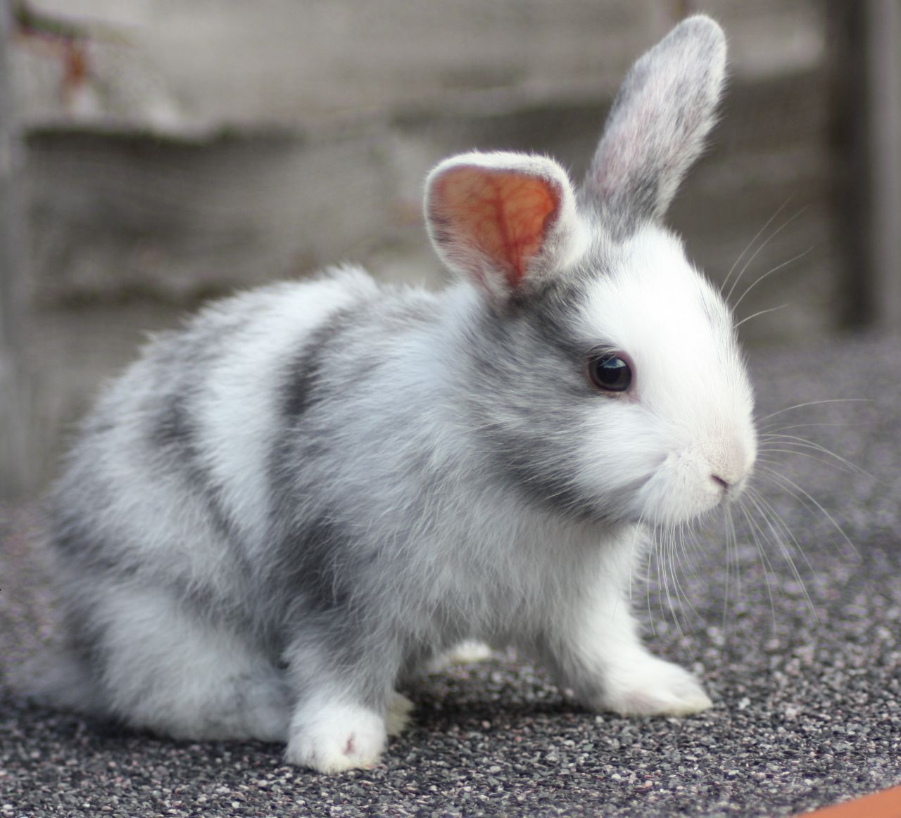 Found On Bing From Www Pets4homes Co Uk Cute Baby Bunnies Cute Animals Animals