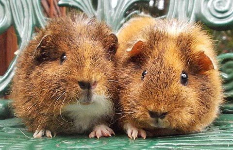 Guinea Pigs...omg, too cute.