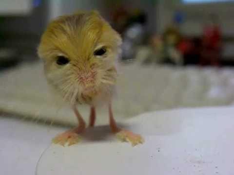 baby pygmy Jerboa