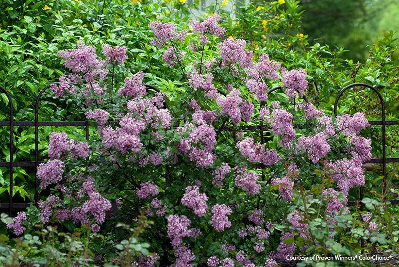 5 Multiseason Shrubs Evergreen Landscape Shrubs Plants
