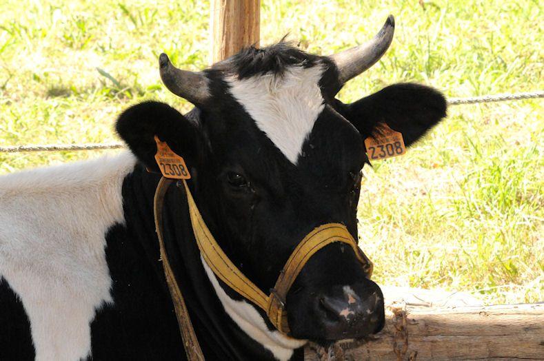 Vache Pie noire bretonne à l\'attache | Puras pintas lecheras ...