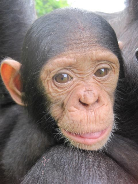 Help look after, care for and rehabilitate these furry friends of ours. Join us on our Chimpanzee and Orphan Project http://www.africanimpact.com/volunteer-projects/projects/chimpanzee-and-wildlife-orphan-care-project/overview ..