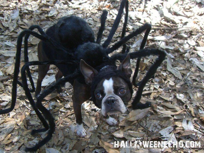 spider halloween costume of echo the boston terrier - Halloween Costumes In Boston