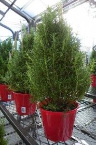 Rosemary plants trained in the shape of a Christmas tree can be used indoors for the holidays ...