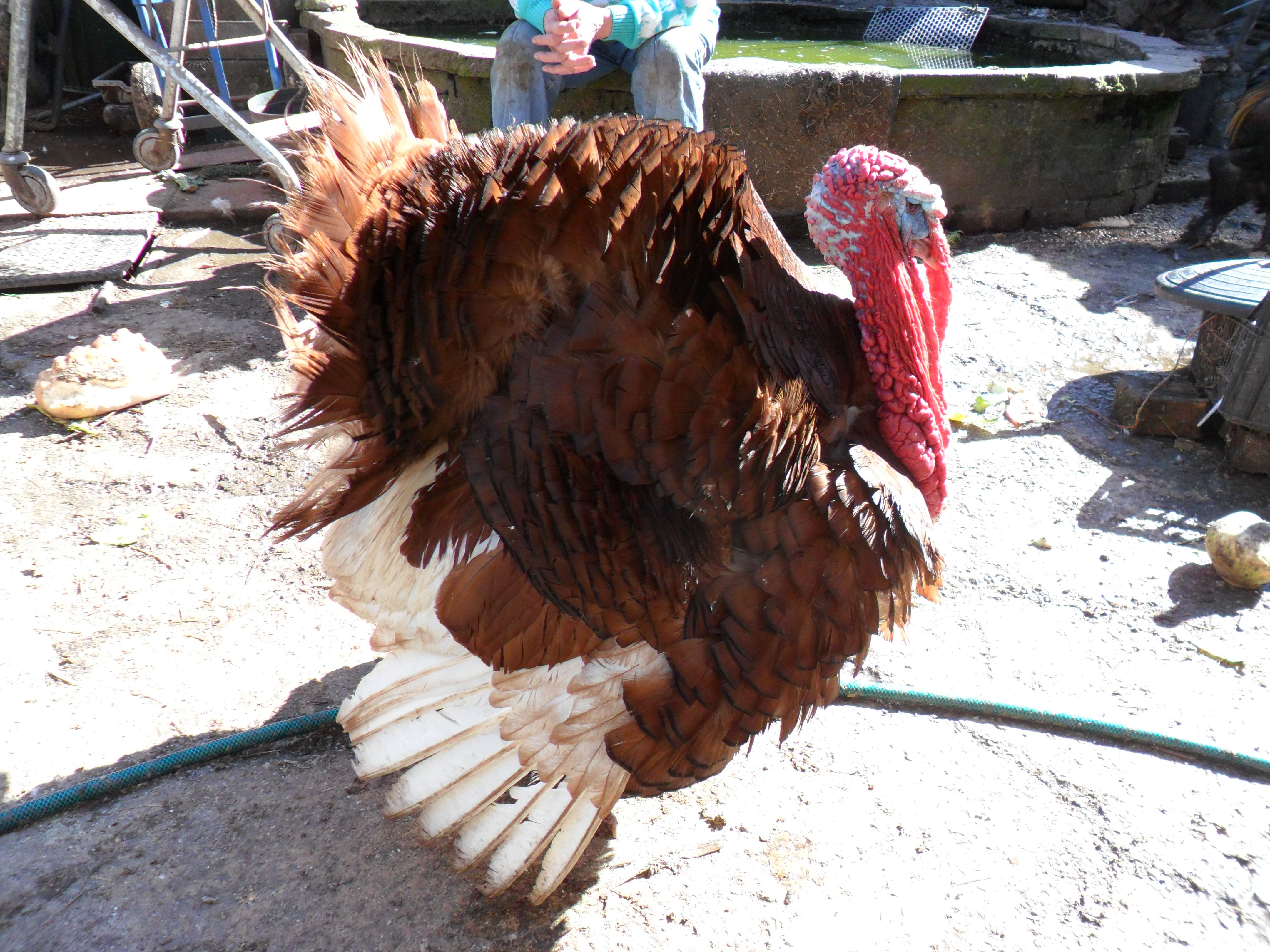 Our elderly bourbon red turkey who sadly passed away today ...