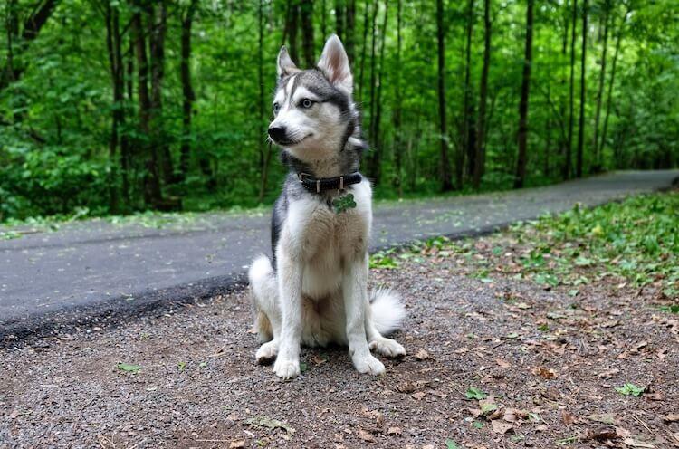 Alaskan Klee Kai Puppies Price Breeders Size Appearance
