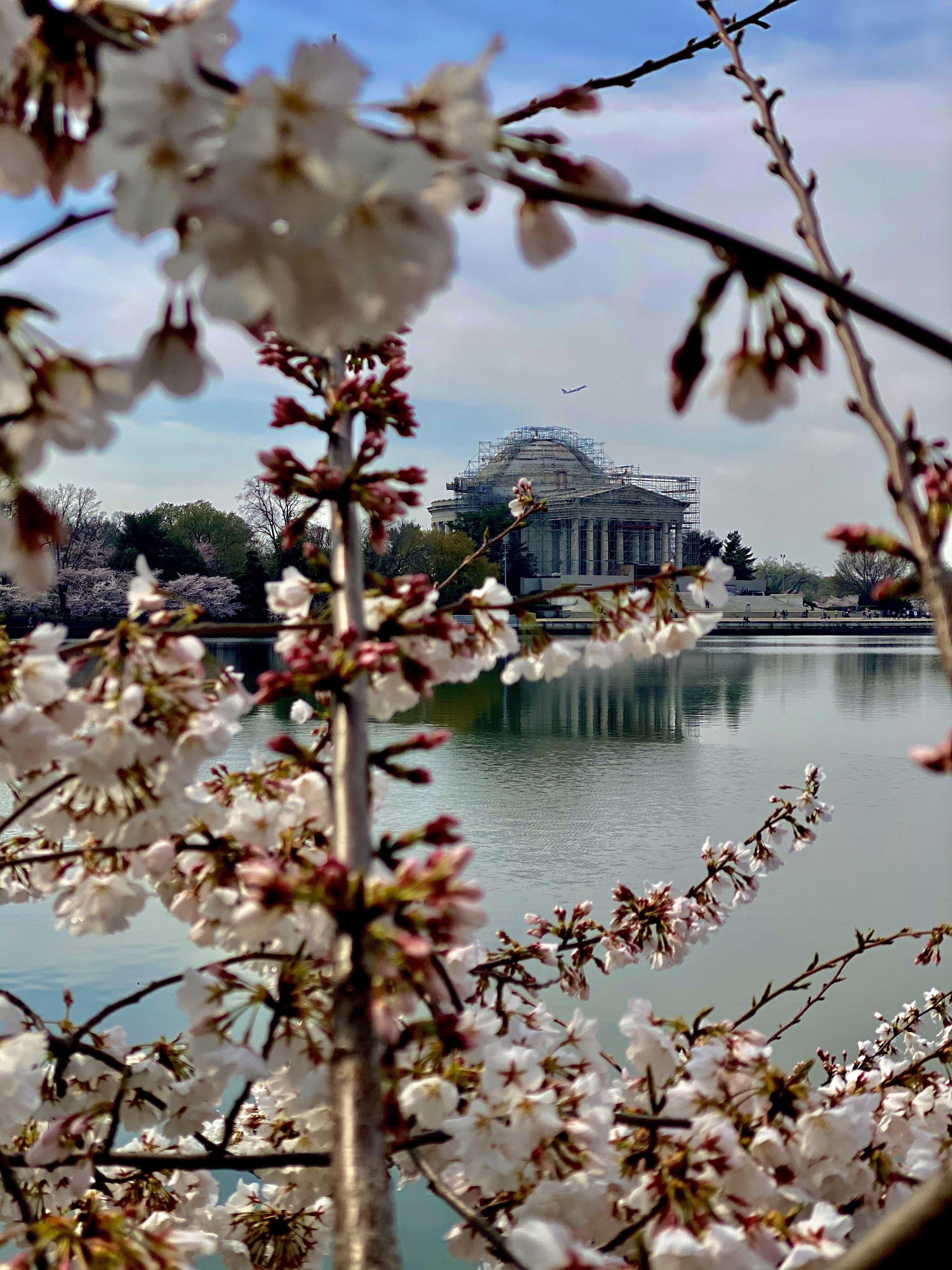 Cherry Blossoms 2020 Washington Dc Washington Dc Visit Dc Washington