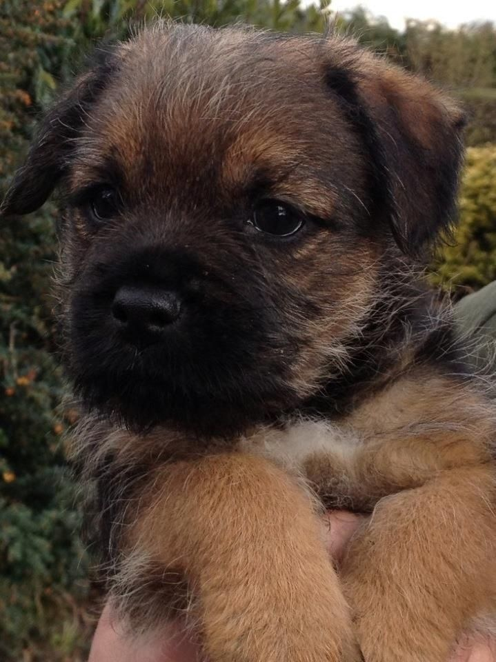 Teddy three weeks old, border terriers are the best.