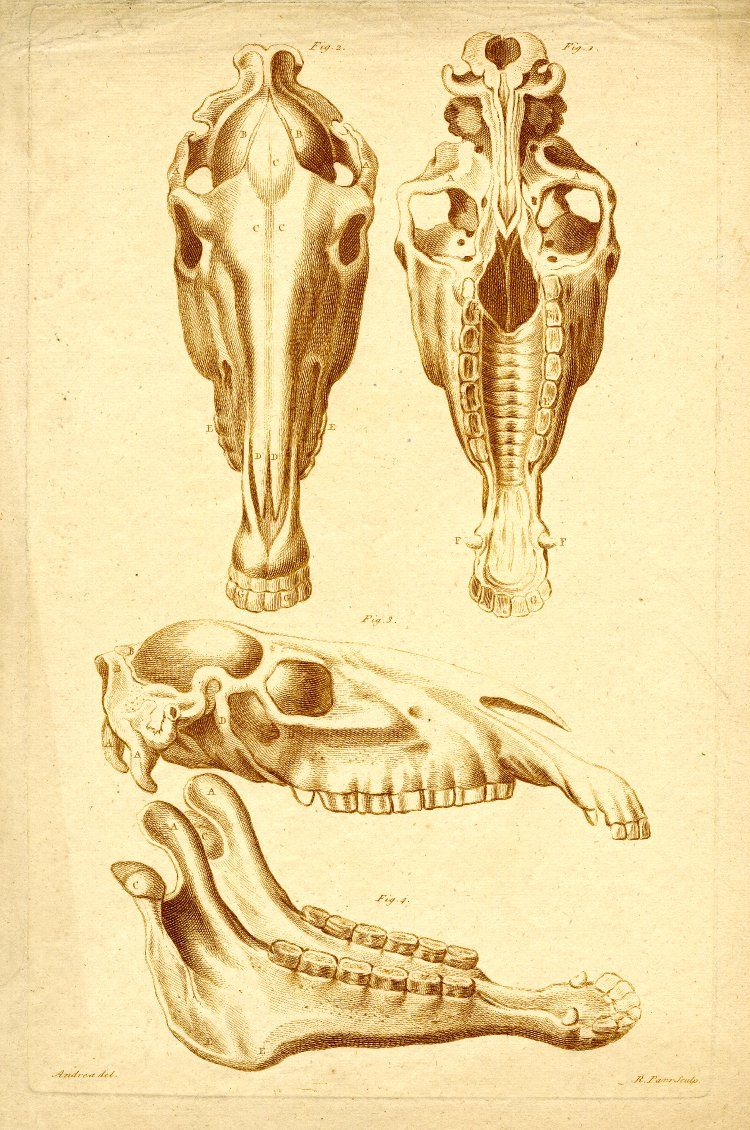 Three studies of a horse skull, front view of upper jaw at top left ...