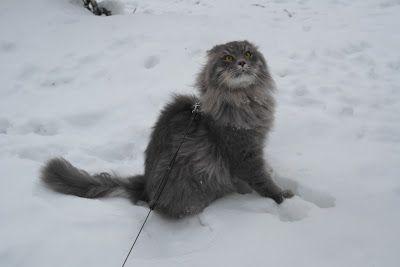 Siberian cat Myrtti