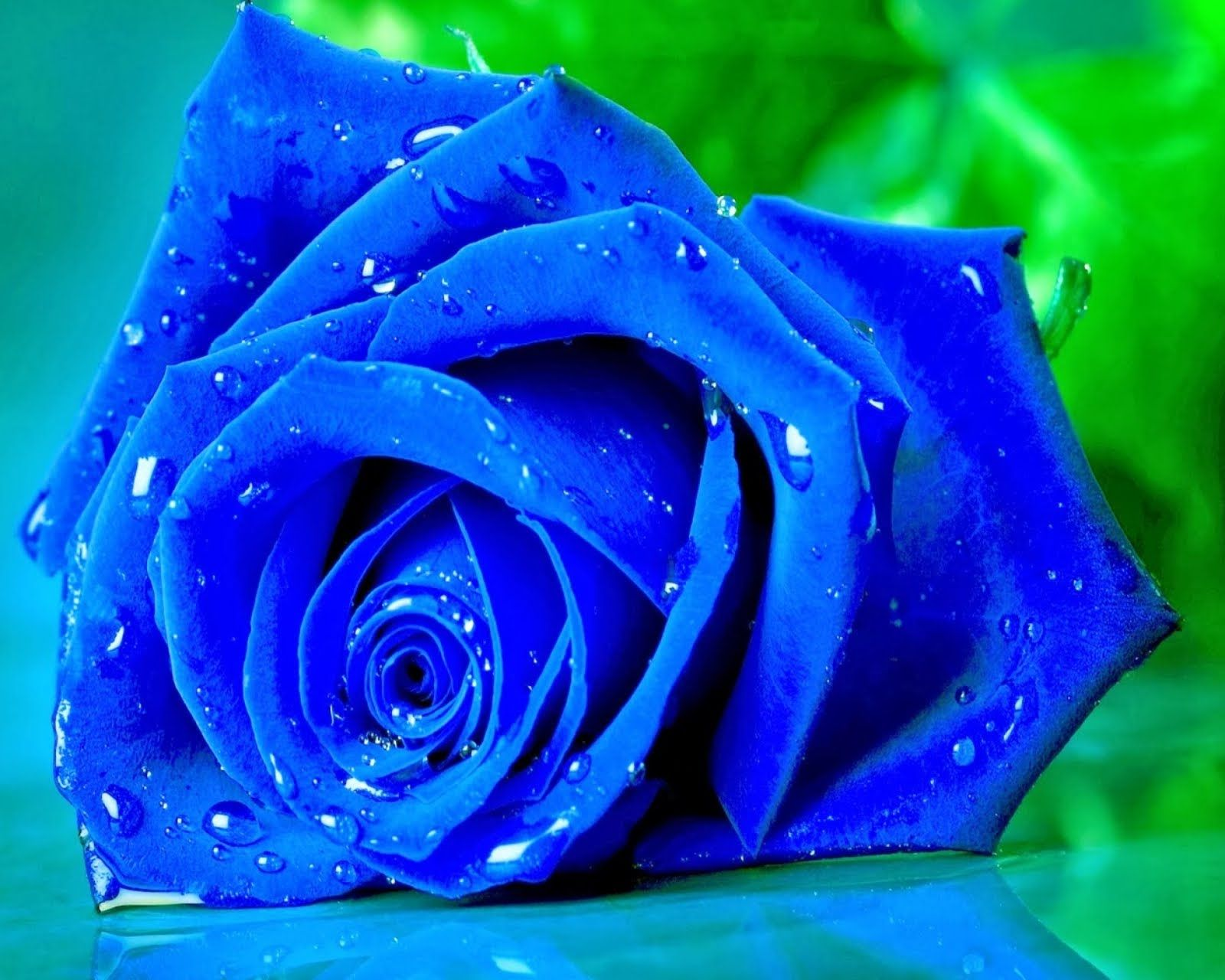Beauty Rose Wallpapers