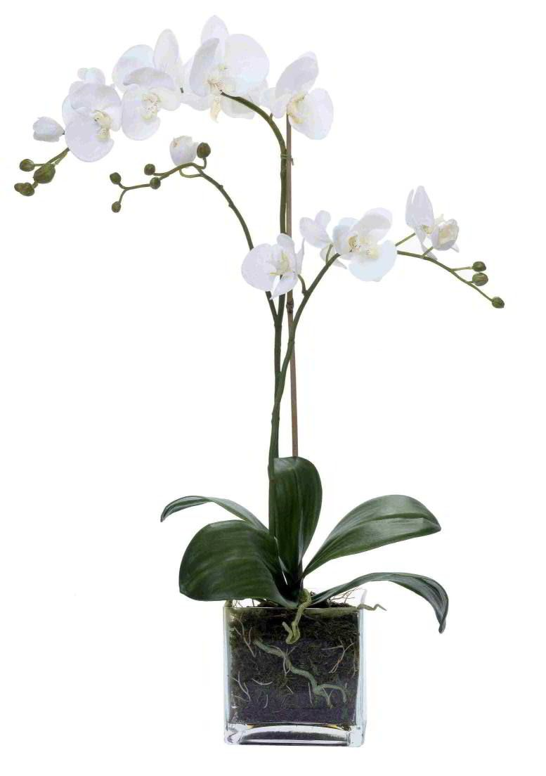 Phalaenopsis orchid in pot dream modern dining room pinterest phalaenopsis orchid - How to care for potted orchids ...