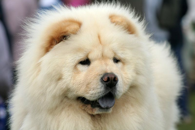 Fluffy And Fun The Most Adorable Fluffy Chow Chow Six Month Old
