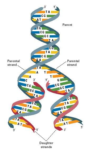 Replication Dna Structure And Diagrams Of Dna Replication