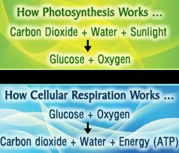 All you need to know about photosynthesis and cellular respiration photosynthesis and cellular respiration fandeluxe Image collections