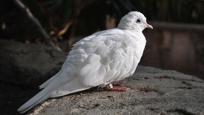 Cara Menjodohkan Merpati Jantan Dan Betina Yang Masih Single Fauna Id Betina Burung Merpati