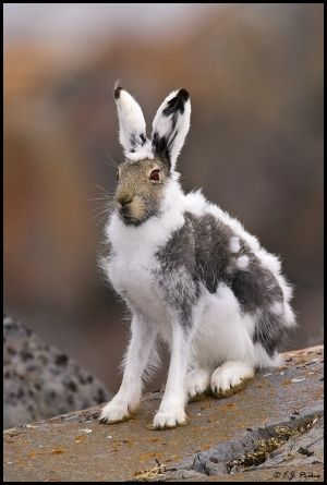 Molting Arctic Hare Is Keeping Up With The Change In Seasons By