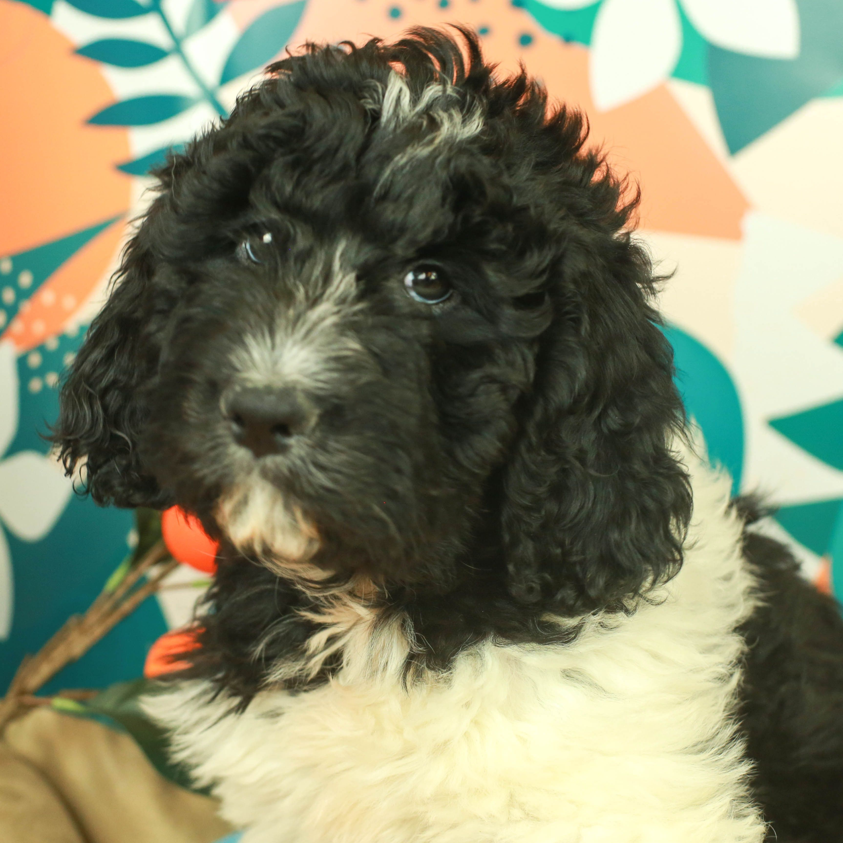 Available Puppies For Sale in 2020 (With images) Cute