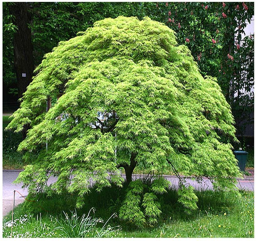 Green Lace Leaf Japanese Maple Acer Palmatum Matsumurae Dissectum