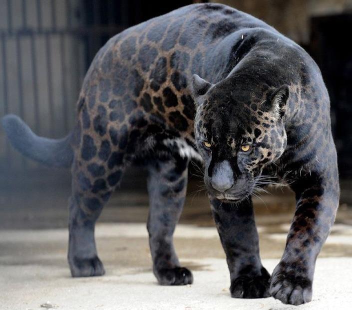 Deadly Puma Tiger | Melanistic animals, Animals beautiful, Wild cats