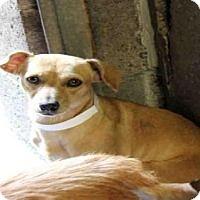 Dachshund/Chihuahua Mix Dog for adoption in Mesa, Arizona