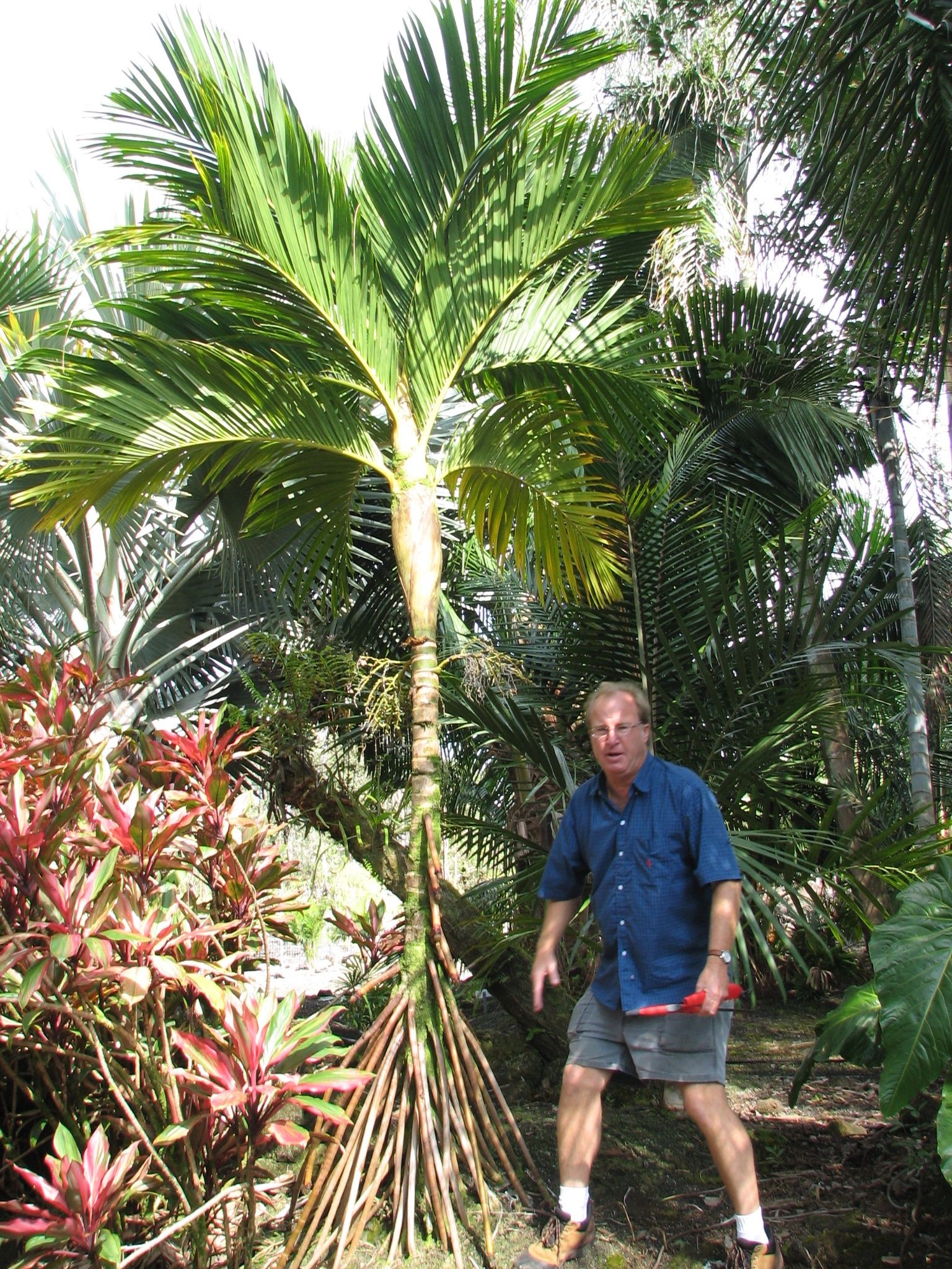 Areca Vestiaria Yellow Form With Jeff Marcus Hawaii