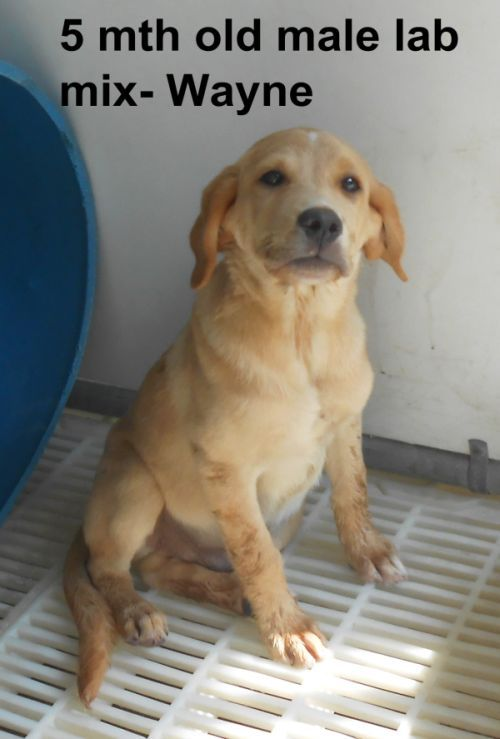 ***TO BE DESTROYED 9/4/14***SUPER URGENT!!!*** - PLEASE SAVE WAYNE!! Wayne Breed:Yellow Labrador Retriever Age: Under 6 months Gender: Male Size: Medium - Call Silvia and Debbie now,,,,,Silvia is 910-876-0539 and Debbie is 339-832-0806. If Silvia's mailbox is full you can Text her. Transportation is generally available up and down the East Coast from NC, VA, MD, NJ, PA, NY and the North East.