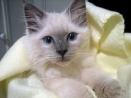 Google Ragdoll Cat Breed Cat Breeds Cute Cats